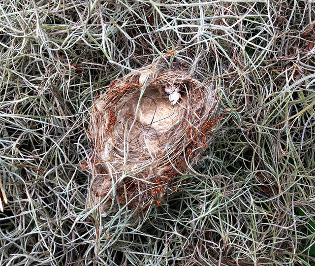 Northern Parula nest