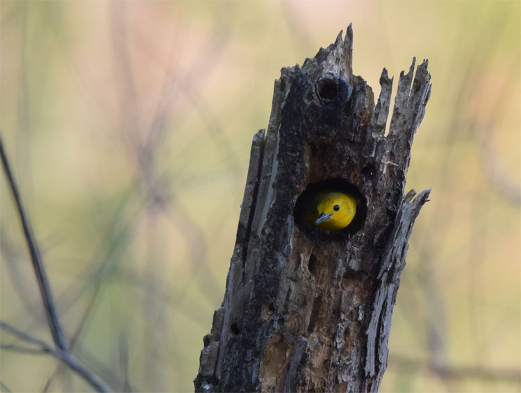 Prothonotary Warbler nest in tree