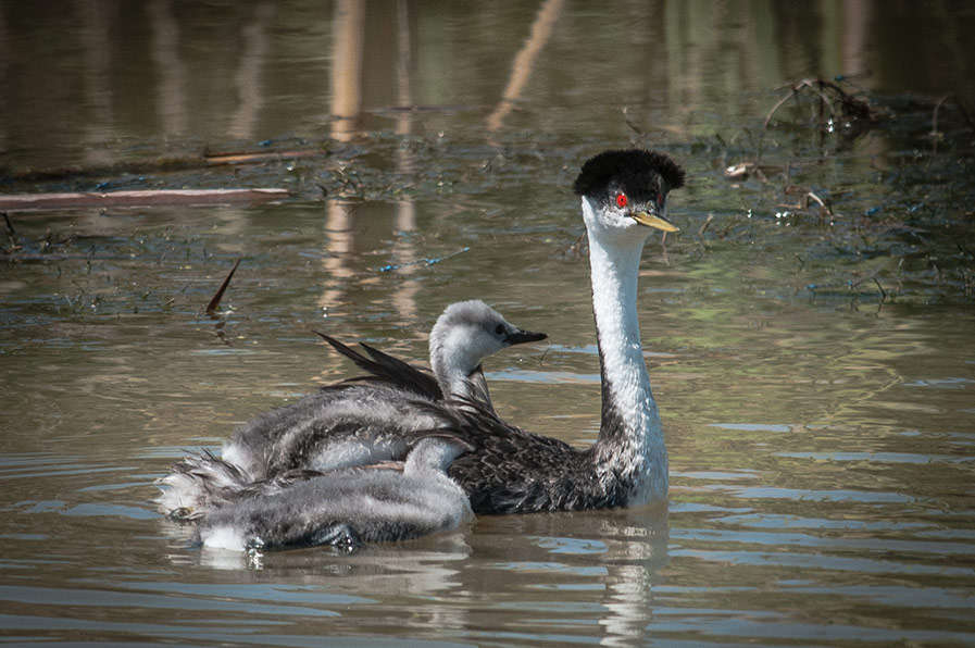Western Grebe and chicks by