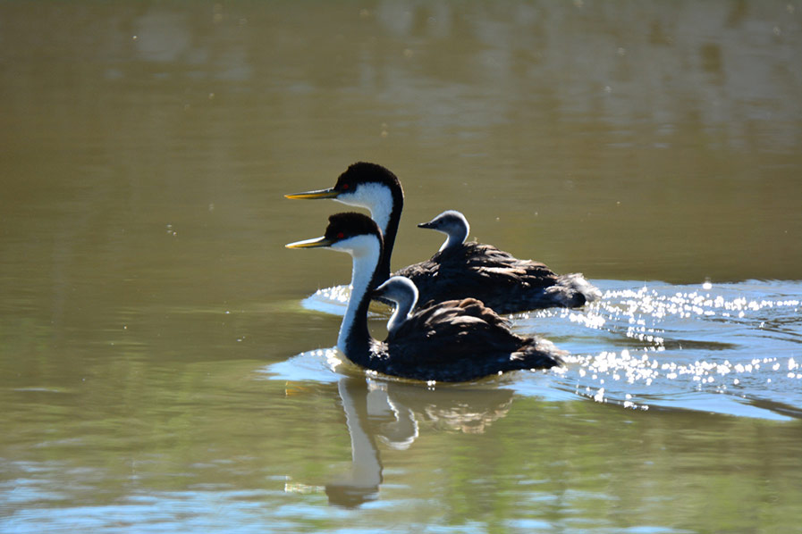 Western Grebes Have Baby Races Too by
