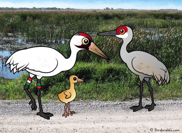 Whoopsie the Whooping Crane and Sandhill Crane hybrid chick