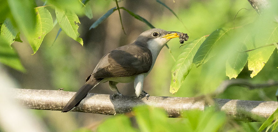 Photo of Yellow-billed Cuckoo